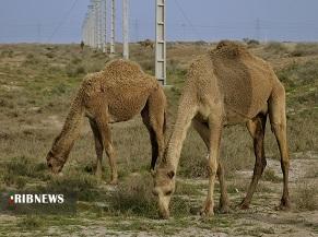 گنجی سرگردان در بیابان های خوزستان