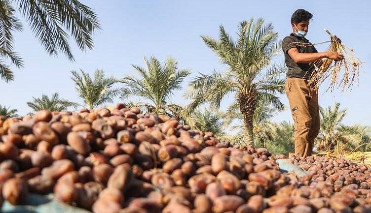 خرید تضمینی بیش از ۳۰۰ تن خرمای استعمران از نخل داران خوزستانی